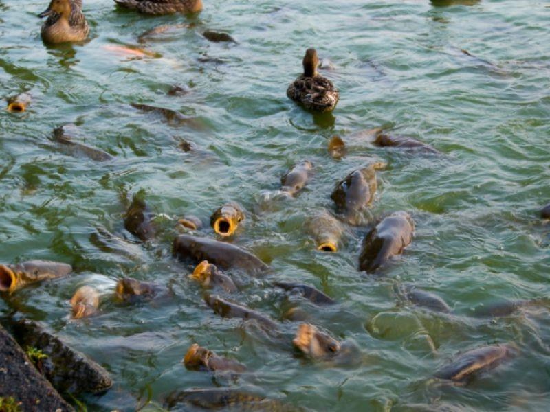 В полном прудовом хозяйстве по выращиванию карпа имеются 11